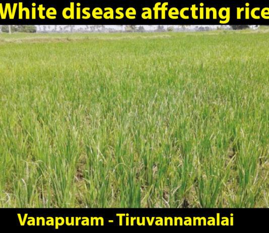 white disease